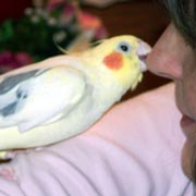 Cockatiels: Why cockatiels and pet birds bite, how to stop ... - photo#41