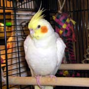 Cockatiels, Infections, Bacterial Infections, Causes of