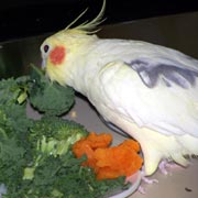 Cockatiels, Foods for Cockatiels that are Healthy and Nutritious, What foods to feed cockatiels, , Recommended Nutritional Foods,Avian Nutrition and Nutritional Needs of a Cockatiel,What do cockatiels eat. Toxic Foods, Foods that are toxic to cockatiels and make birds sick.