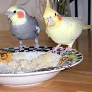 Can Birds Eat Rice Cakes