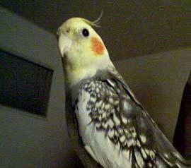 Cockatiel Cottage Cockatiels Birds Of The Month